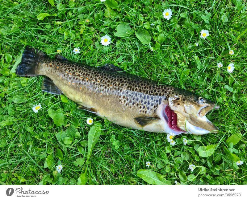 Freshly caught brown trout in the meadow Brown trout Fish freshly caught Captured fishing luck Meadow Fishing area salmo trutta fario Salmonids Predatory fish
