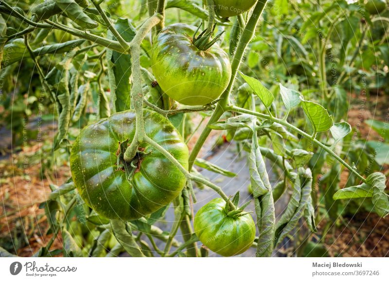 Ripening organic green tomatoes in a greenhouse. vegetable farm ripen agriculture food horticulture sun growth fresh nature healthy gardening agricultural bunch
