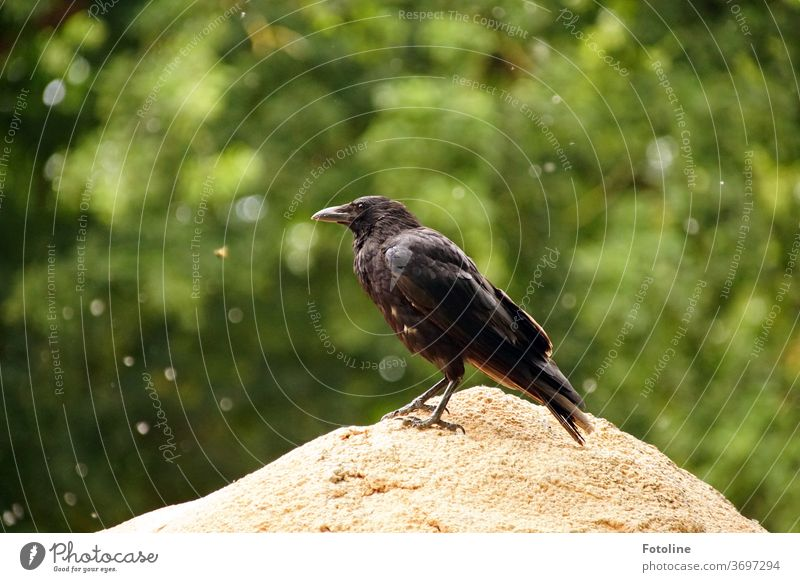 A crow sits on a big stone and looks around. In the background pollen is flying through the air Crow raven birds Black Animal Raven birds Feather Beak Nature