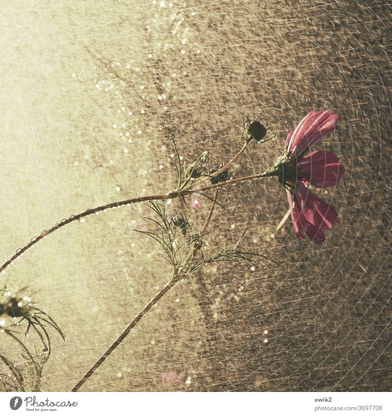 Flower shower Cosmea Cosmea flower Beautiful weather bleed Cosmos Wild plant Mysterious Long shot Detail Passion Environment Summer daylight