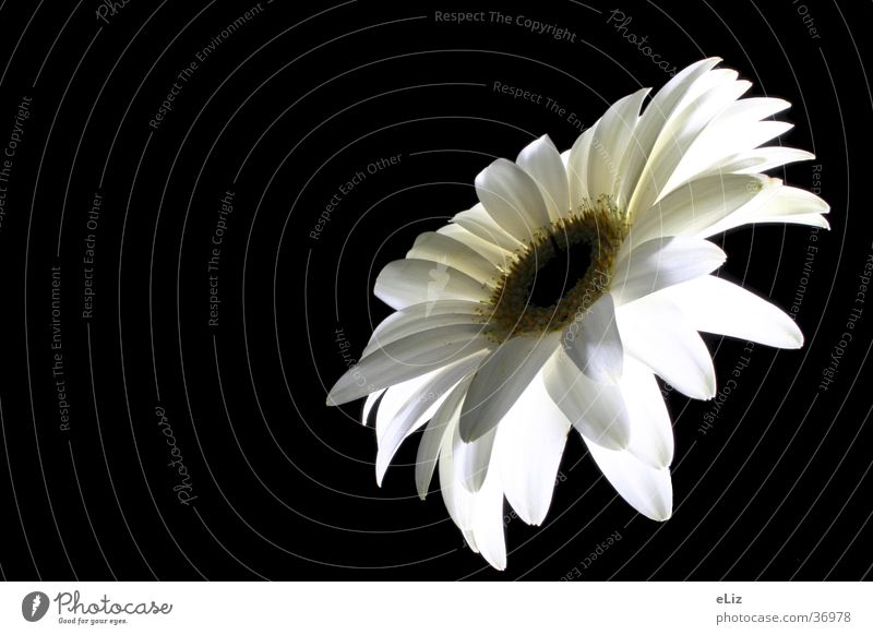 Nature White Flower Plant Gerbera