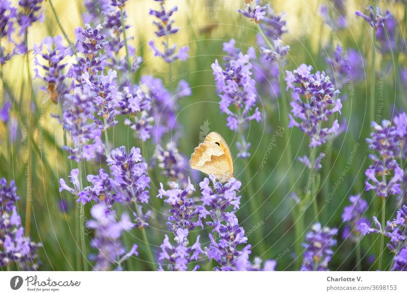 flying visit | butterfly on lavender Butterfly Lavender lavender flowers butterflies green Yellow Orange Violet purple Purple Flower Summer Summery Delicate
