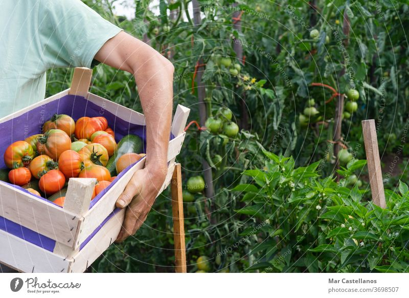 Man with box of tomatoes in the garden. vegetables man agriculture person food gardening farm organic farmer harvest harvesting green nature red farming hand