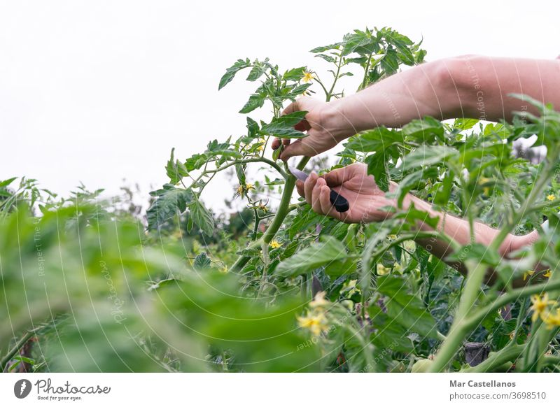 Man pruning tomato plant. person man vegetable gardening agriculture nature summer greenhouse work adult farm lifestyle organic agricultural gardener farming