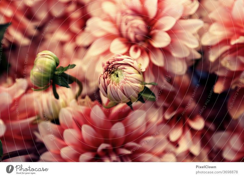 Summer Flower Festival flowers bleed Macro (Extreme close-up) Plant Pink leaf, flowers leaves, summer, flora, beautiful, love