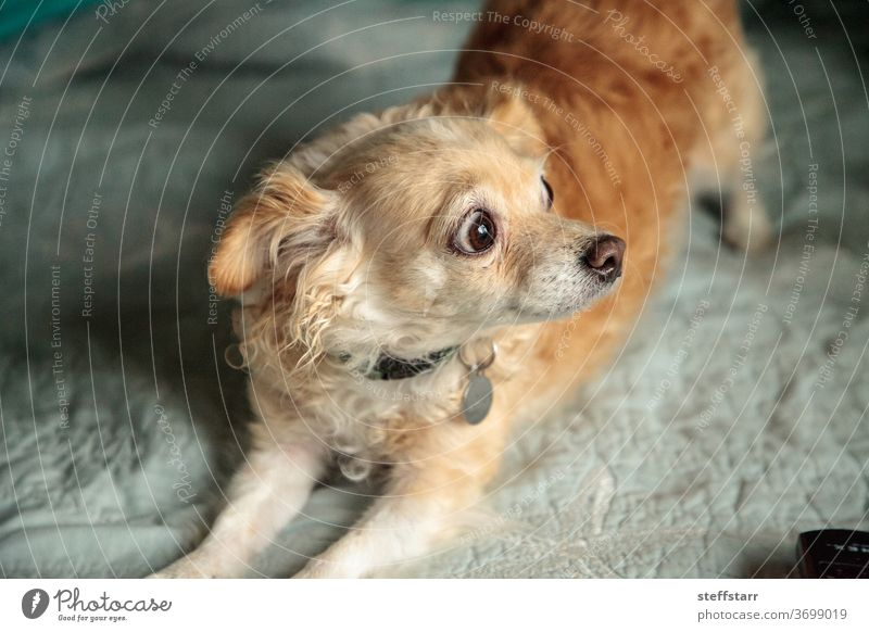 Blond Chihuahua dog with a funny surprised expression Surprised alarmed Dog bed pet canine female dog longhaired dog animal cute cuddly large eyes