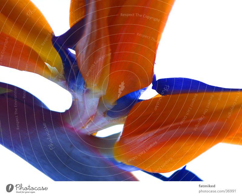 Flower Blue Orange