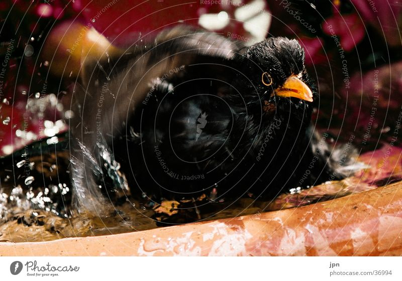 Water Movement Wing Swimming & Bathing Inject Blackbird