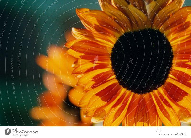 sunlight Sunflower Flower Red Yellow Back-light Orange