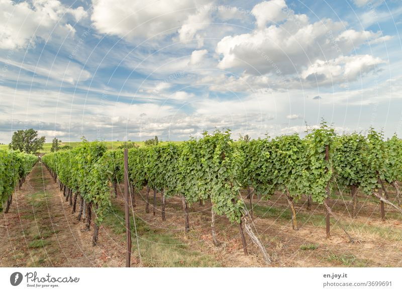 Vines in the Palatinate under a beautiful cloud sky vines Vineyard palatinate Rhineland-Palatinate Agriculture Wine growing Sky Clouds Wide angle Idyll green