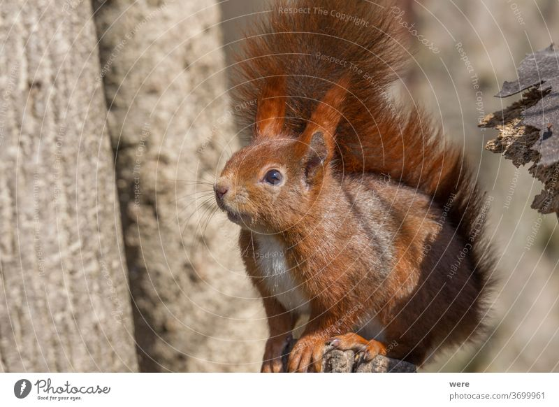 European brown squirrel in winter coat on a branch in the forest Background Sciurus vulgaris animal branches copy space cuddly cuddly soft cute