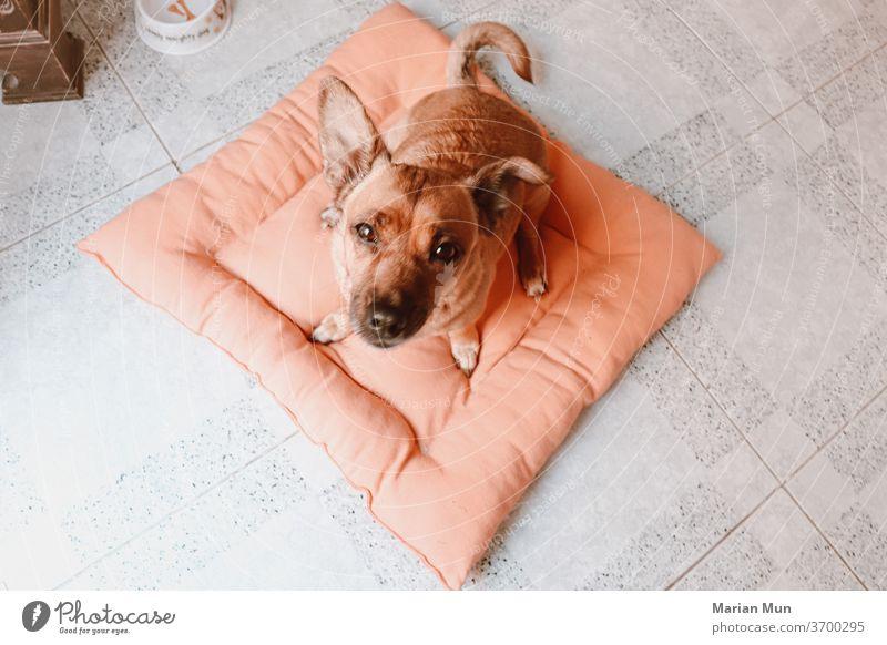 perro mirando a la camara desde su cama animal compañia hogar casa Belleza mirada