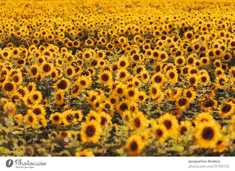 huge sunflower field in the evening light Sunflower field Sunflowers sea of flowers blossom Landscape Sunset Field Nature countless Yellow leaves bleed heyday