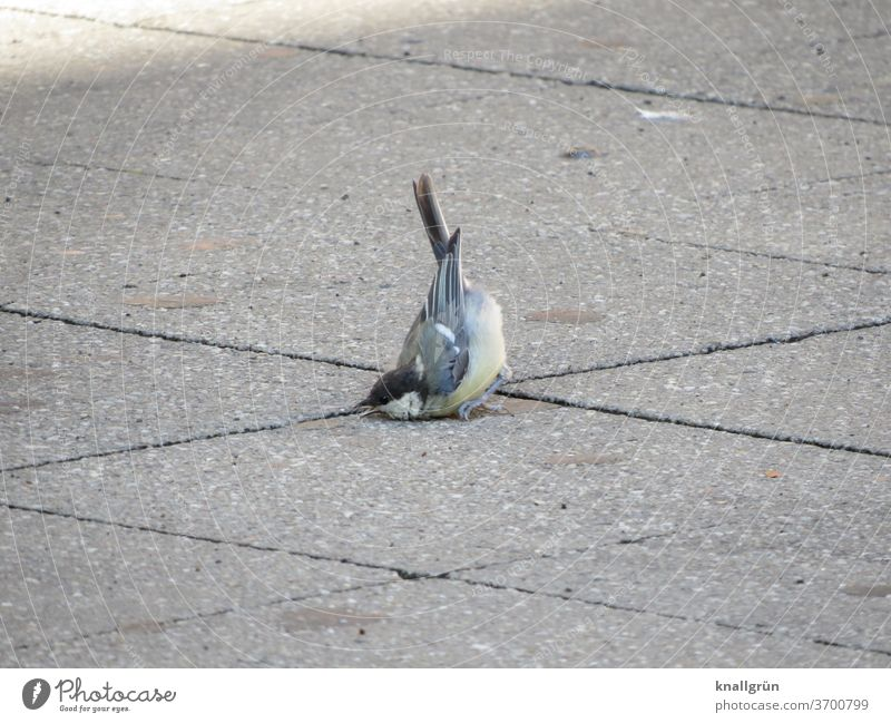 Young great tit fell headfirst into the street birds Sudden fall To fall Tit mouse Animal Exterior shot 1 Wild animal Small Deserted wounded Beak Asphalt Street