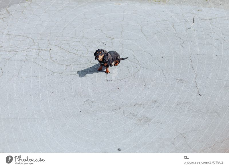 carlson (not leashed) Dog Dachshund Cute Small Pet Animal Love of animals Wait Sit well-behaved ingenious Deserted Exterior shot