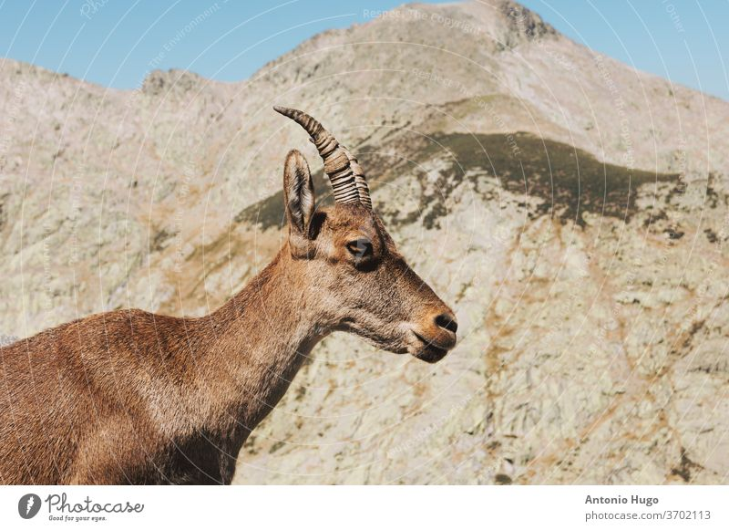 Portrait of a typical Spanish mountain goat in the mountains horn mammal wildlife rock horned spanish vertebrate wilderness female species land no people