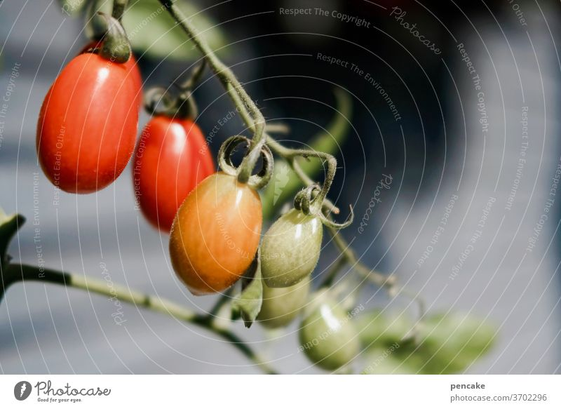 reifeprüfung Tomaten hängen rot grün Rispe Sonne Sommer Gemüse Garten Kontast Pflanze gesund Ernährung wachsen