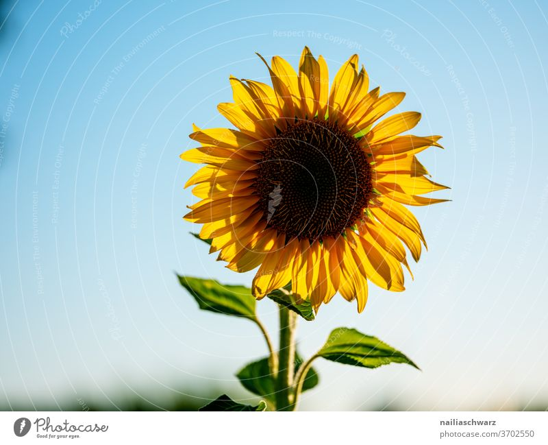 sunflower Sunflower Sunflower field Nature Landscape Field Yellow Blue bloom bleed Sky Blossoming Plant green flowers Vacation & Travel Summer Agriculture