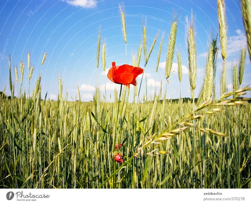 poppy Vacation & Travel Cycling tour Environment Nature Landscape Plant Sky Clouds Summer Climate Beautiful weather Blossom Agricultural crop Field Village
