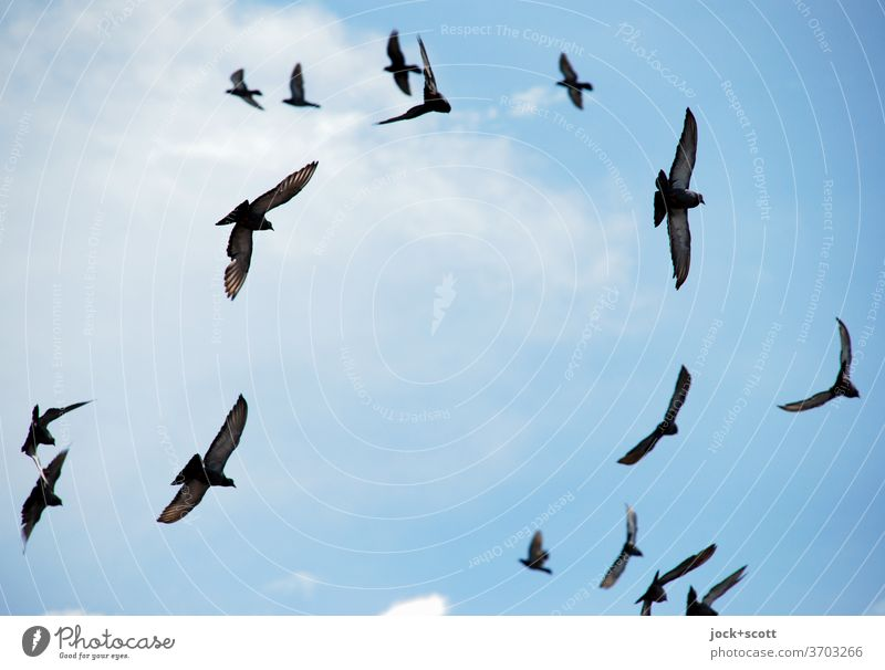 never-ending crush Flying Flock Pigeon Agreed Ease Cloudless sky Attentive Life Formation Bird's eye view Formation flying Flight of the birds Direction