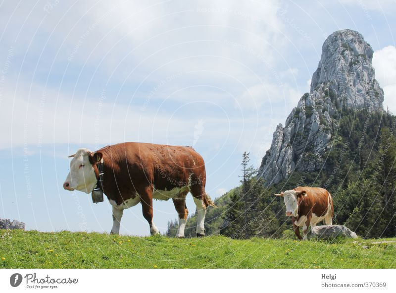 AST6 Inntal Q-walk... Environment Nature Landscape Plant Sky Clouds Spring Beautiful weather Grass Meadow Mountain Peak Animal Farm animal Cow 2 Cow bell Going