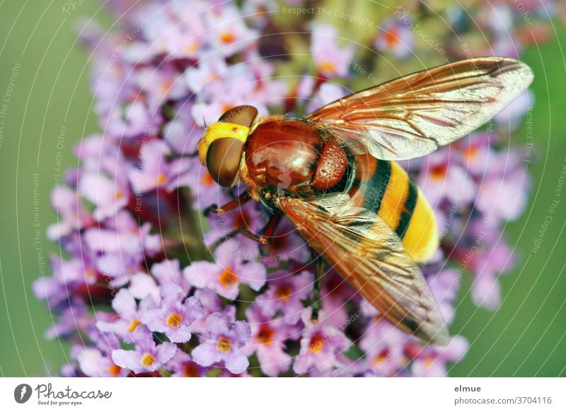 a hornet hoverfly on blooming butterfly bush Hornet hoverfly mimicry blue hoverfly Giant bumblebee hoverfly Buddleja Insect Volucella zonaria Dipterous