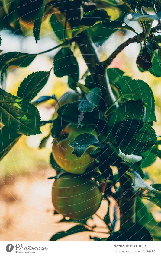 Apples on apple branch in garden apples orchard fruit summer leaves sunny agriculture seasonal plantation produce tree branch Garden Harvest Summer Tree Fruit