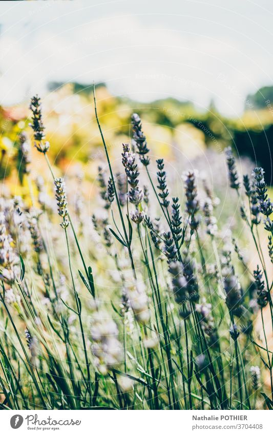 Landscape with lavender in summer and blur background landscape purple closeup flower europe provence outside plant vivid therapy colourful vibrant bloom