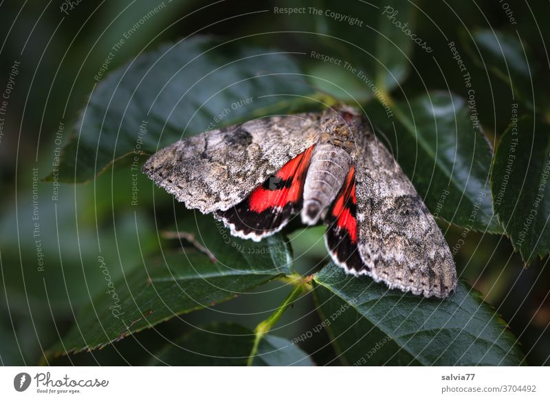 Moth shows red Butterfly Red Ribbon moths Insect Catocula nupta Nature Pattern deterrent Contrast Grand piano Animal Macro (Extreme close-up) Animal portrait