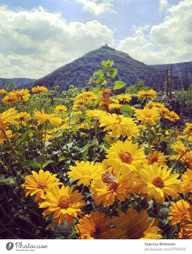 yellow flowers landscape, yellow, flowers, insects, mountain, sky, clouds green Nature Sky Clouds Summer Day Yellow Exterior shot Plant