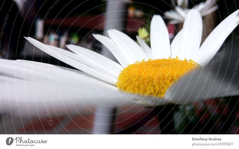 Daisy flower close-up daisy flowers Close-up macro shot Nature Flower Blossom Blossoming Plant Yellow White Colour photo Exterior shot Summer