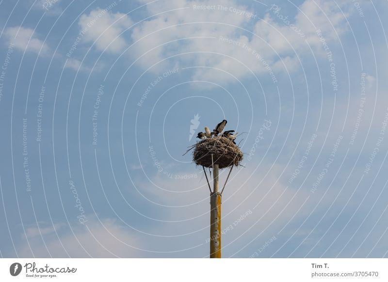 Storks eating ? Storks in the nest Nest birds Animal Sky Wild animal Colour photo Exterior shot Day Nature Deserted Copy Space top Eyrie Nest-building Summer
