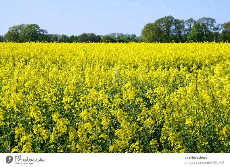 rapeseed or canola field oilseed yellow agriculture rural landscape farmland spring nature coleseed colza flower plant crop farming blossom horizon bloom