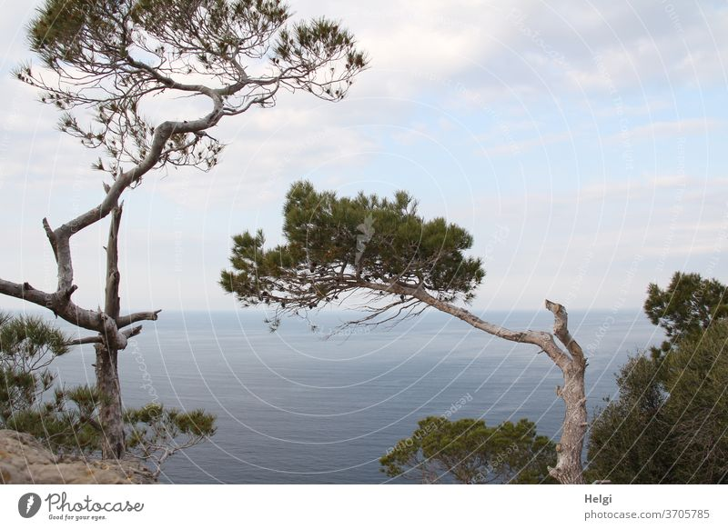 bizarrely shaped pine trees on the steep bank of Mallorca's west coast with a view of the Mediterranean Sea with sky and clouds Stone pine Bizarre Majorca Coast