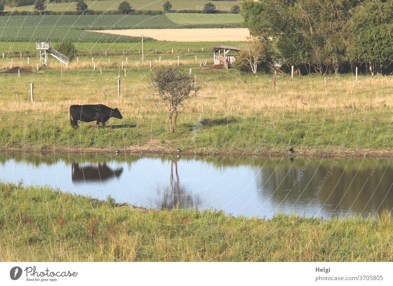 Idyll in the country - black cow on a meadow by a small lake with reflection chill Black Landscape Nature rural Animal Exterior shot Meadow Willow tree