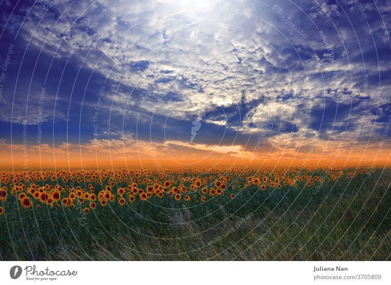 Sunflower field at sunset.Landscape from a sunflower farm.Agricultural landscape.Sunflowers field landscape.Orange Nature Background.Field of blooming sunflowers on a background sunset.Greeting card argiculture concept.Art Photography.Artistic Wallpaper.