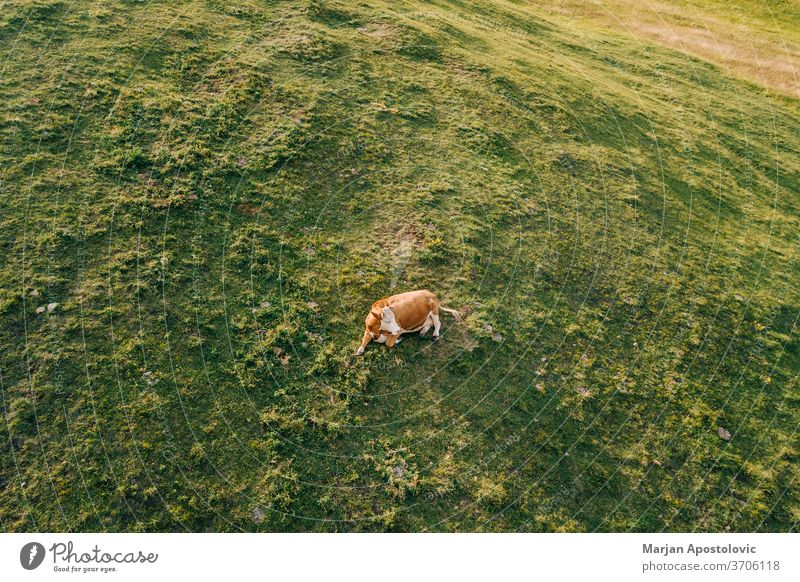 Aerial view of a cow in the field in sunset light above aerial agricultural alone angus animal background beautiful beef brown cattle country countryside
