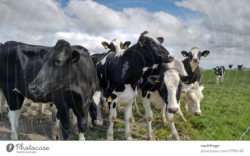Cows in the pasture cows Agriculture cattle Farm Dairy cow inquisitorial Farm animal Farm animals agriculturally