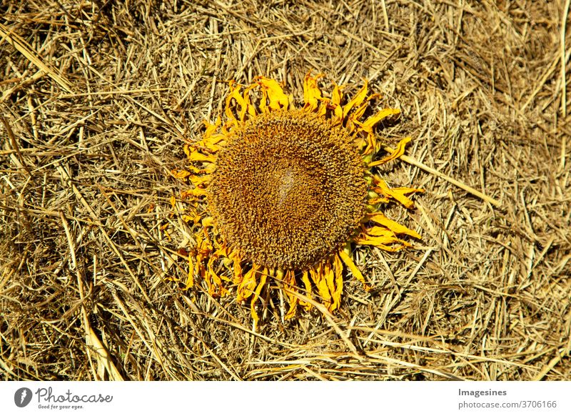 wilted dried sunflower in straw, on a straw bed of the field. no people Sunflower agricultural field Nature Agriculture rural scene flowers Growth Landscape
