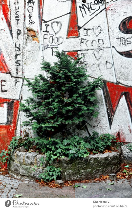 City green I walled in conifer in front of graffiti Conifer Plant Nature Exterior shot Environment little trees Graffiti Colour photo Red White Day Ivy