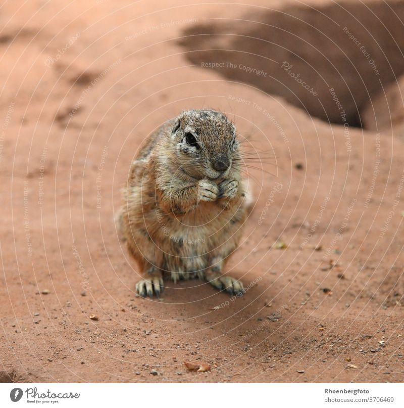 cute cinnamon cape bristle squirrel Cape bristle croissant xerus inauris Pelt Ground squirrel Africa Zoo Baun Tails Animal rodent Desert half jet Habitat Seldom