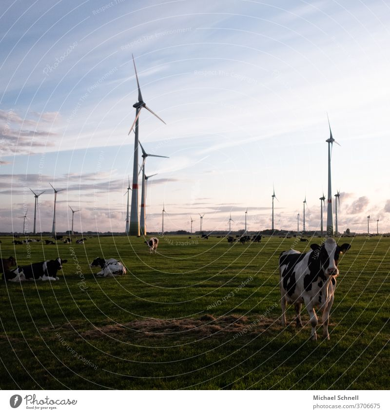 Cows and wind turbines Cattleherd chill Nature Exterior shot Farm animal Meadow Colour photo Animal Willow tree Deserted Herd Group of animals Day Country life
