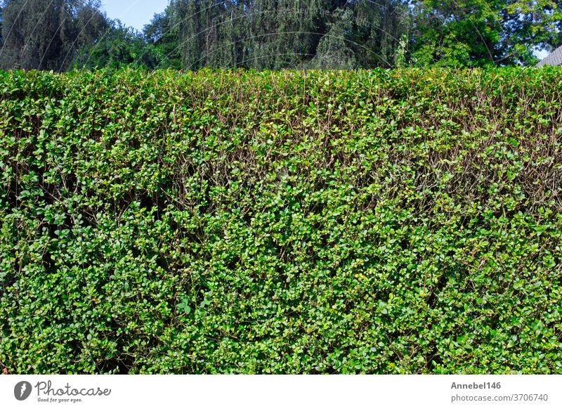Green hedge with blue sky and trees on the background, closeup of a hedge home garden in the summer nature green grass plant natural field fence wall leaf
