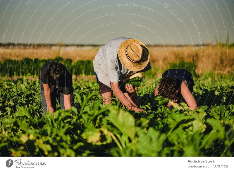 Farmer with kids harvesting vegetables in field farmer together pick collect zucchini green agriculture fresh organic natural grandson grandfather cultivate