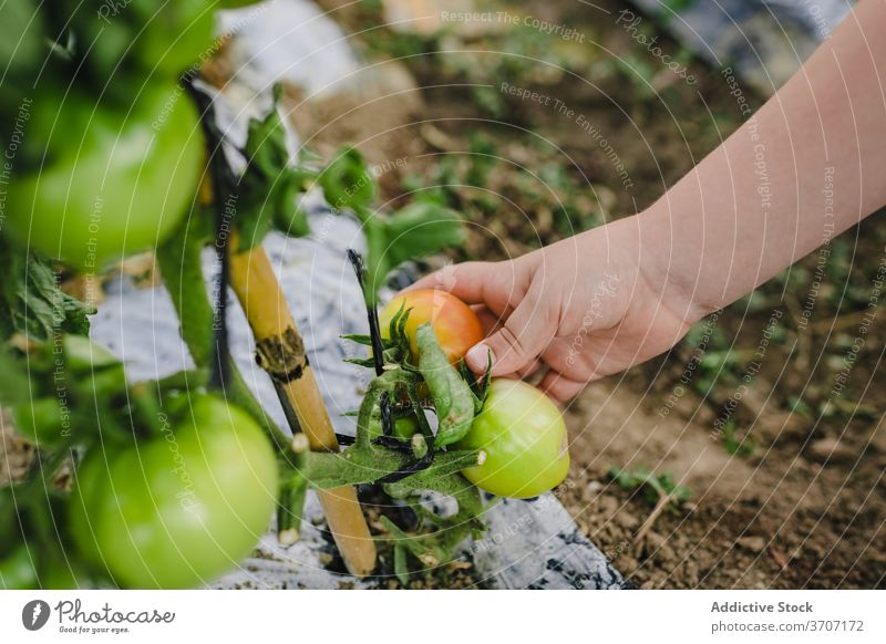 Anonymous kid taking care of tomato plants in garden vegetable green harvest summer boy tie pick hands organic agriculture farm natural cultivate food agronomy