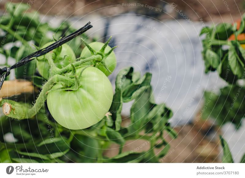 Tomato plants growing in garden tomato green vegetable organic agriculture farm natural cultivate food harvest unripe agronomy farmland field produce branch