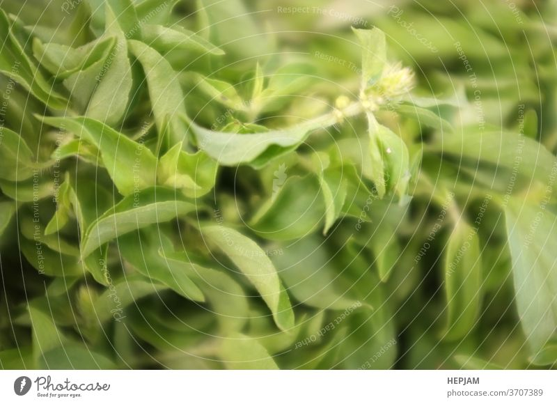 Basil green leaves. Organic spices basil green leave for cooking. Nature background agriculture aromatic backgrounds bio bright close close-up closeup color