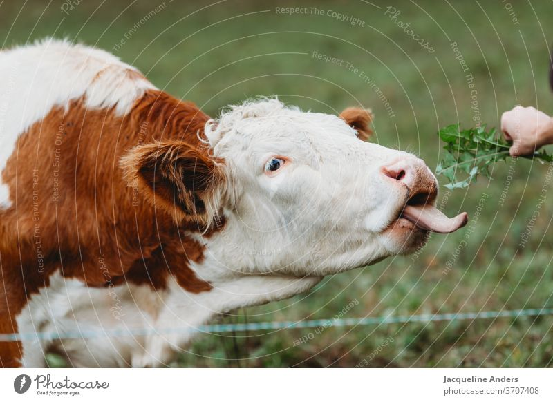 Cow in the pasture is fed with dandelion chill Willow tree Meadow lowen tooth Feeding Tongue Animal Species-appropriate Free-range rearing fortunate Farm animal