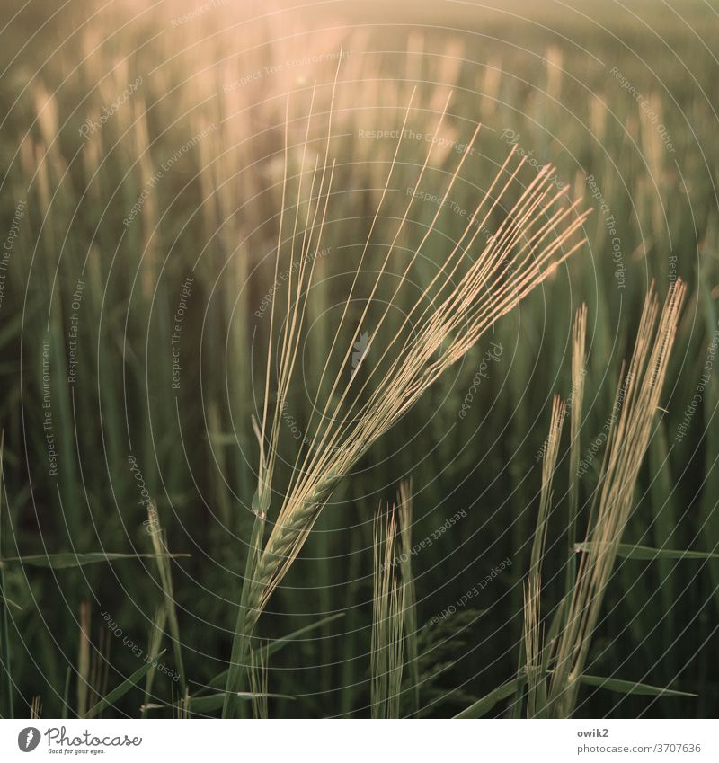 sheaves Barley ear Barleyfield Agricultural crop Beautiful weather Plant Landscape Nature Environment Field Illuminate Glittering Near Warmth Calm Purity Idyll