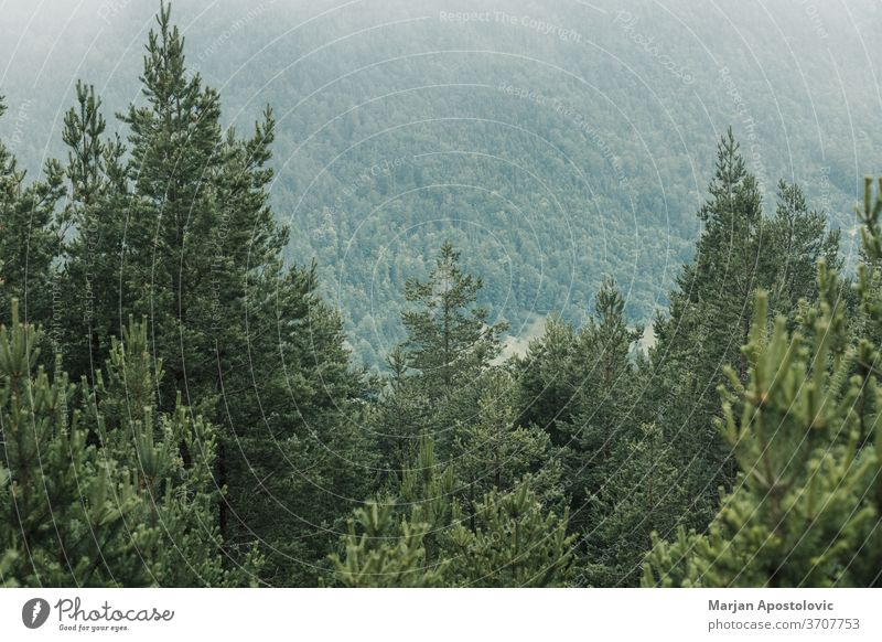 View of a beautiful foggy pine trees in the mountains adventure background clouds cloudy dark dawn ecology environment explore forest green haze hazy landscape
